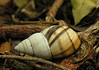 Florida tree snail (<I>Liguus?</I> sp.) shell on ground Castellow Hammock, near Miami, FL
