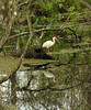 White ibis in swamp<br /> Corkscrew Swamp Sanctuary, FL