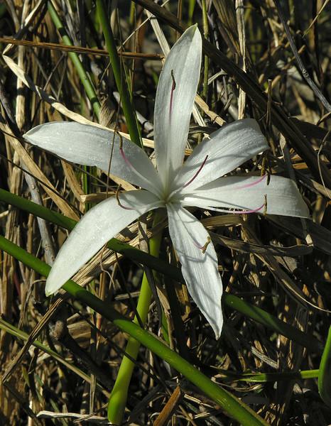 String lily (<I>Crinum americanum</I>) Shark Valley, Everglades National Park, FL