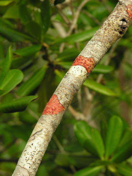 Tree girdled with Baton Rouge lichen (<I>Cryptothecia rubrocincta) Mahogany Hammock, Everglades National Park, FL