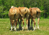 Draft horse trio, munching & swatting in unison<br /> Mebane, NC