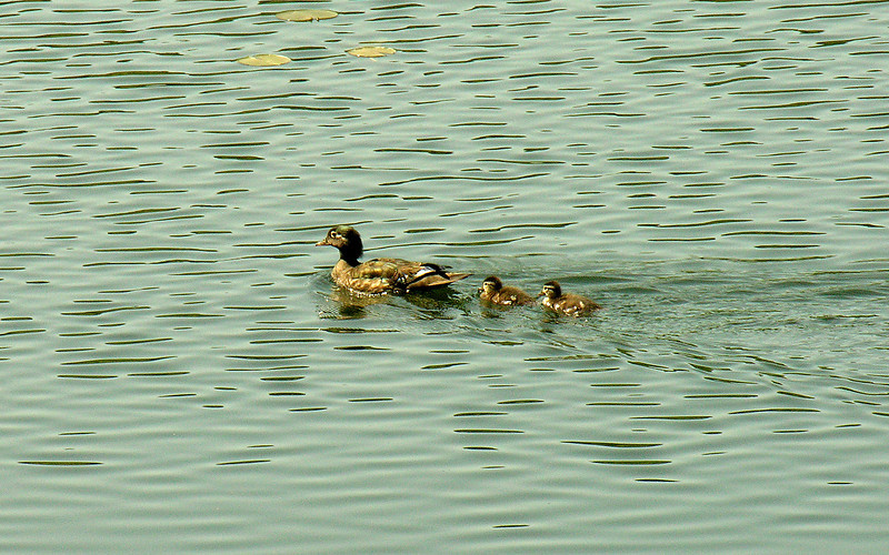 Wood duck family<br /> Bass Lake, Blowing Rock, NC