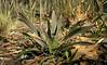 Common yucca <i>aka</i> Adam's needle (<i>Yucca filamentosa</i>) in Pocosin swamp Carolina Beach State Park, NC