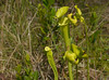 Yellow trumpet pitcher plant (<I>Sarracenia flava</I>), flowers starting to open, in savanna habitat Carolina Beach State Park, Carolina Beach, NC