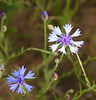 "Varied cornflowers (<i>Centaurea cyanus</i>) in roadside field  <span class=""nonNative"">[non-native]</span> Rural Orange County, NC"