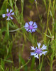 "Cornflowers (<i>Centaurea cyanus</i>) in roadside field  <span class=""nonNative"">[non-native]</span> Rural Orange County, NC"