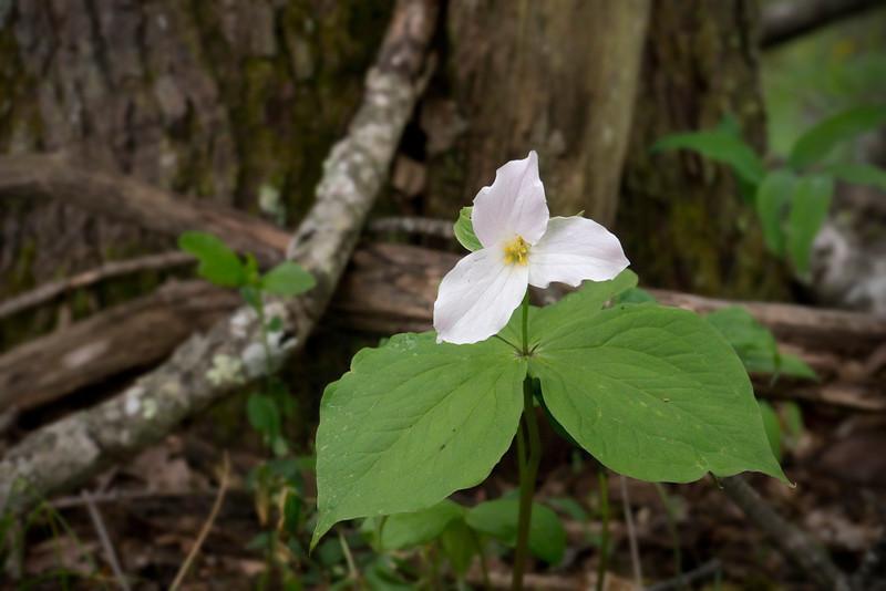 Large-flowered trillium (<I>Trillium grandiflorum</I>) Blue Ridge Parkway, NC (Milepost ~ 367)