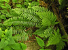 Assorted ferns on the Glen Burney Trail<br /> Blowing Rock, NC