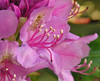 Purple rhododendron (<I>R. catawbiense</I>)  Bass Lake, Blowing Rock, NC