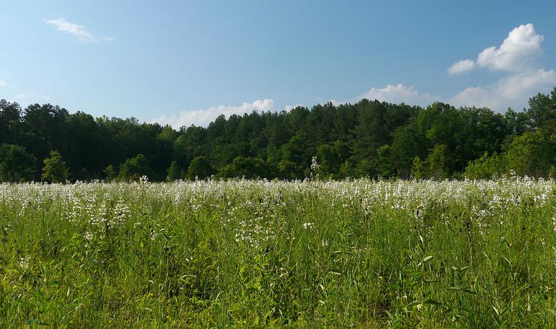 Field of white foxglove beardtongue (<I>Penstemon digitalis</I>) Mason Farm Biological Reserve, Chapel Hill, NC