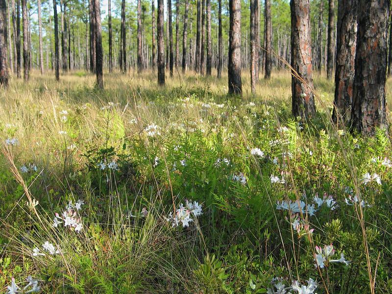Dwarf azalea (<I>Rhododendron atlanticum</I>), wiregrass (<I>Aristida beyrichiana</I>), bracken fern (<I>Pteridium aquilinium</I>), dwarf wax myrtle (<I>Morella pumila</I>), etc. in the longleaf pine savannah Holly Shelter Game Land, Pender County, NC