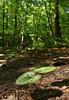 Virginia heartleaf (<I>Hexastylis virginica</I>) along mountain loop trail Occoneechee Mountain State Natural Area, Hillsborough, NC