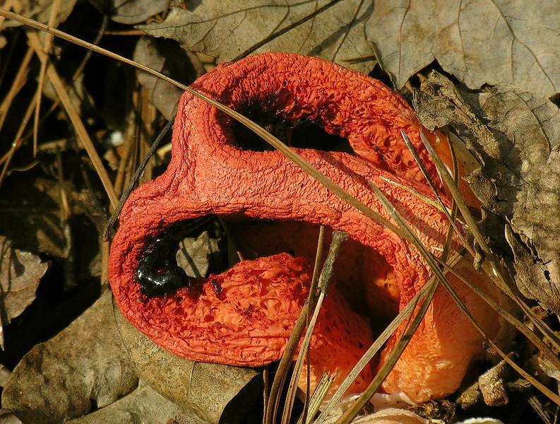 Columned stinkhorn fungus (<i>Clathrus columnatus</i>) in Pocosin swamp Carolina Beach State Park, NC