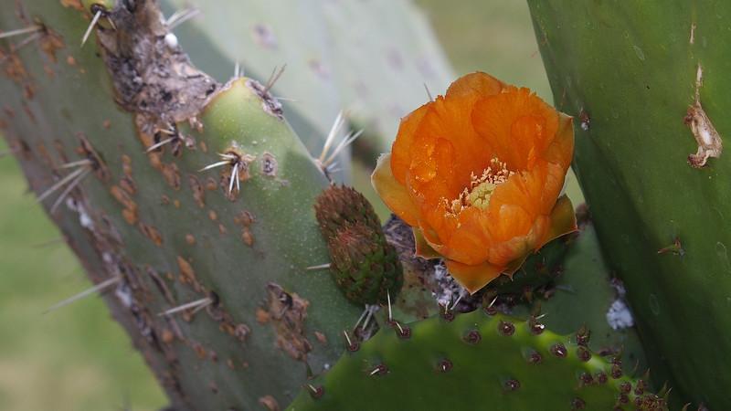 Cactus flower in Presidio Park<br /> San Diego, CA
