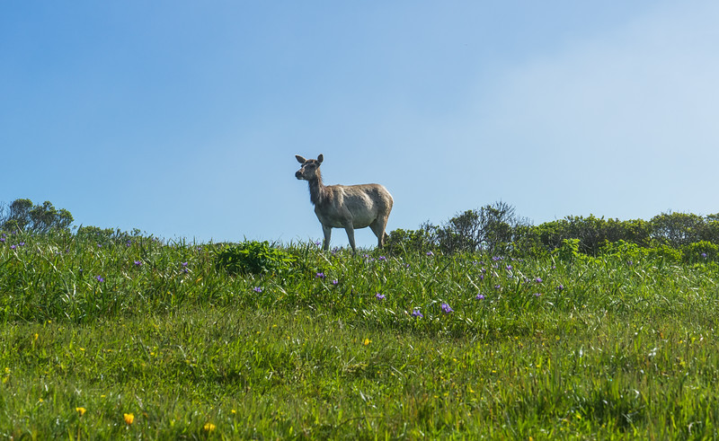 Tule Elk in Tomales Point Elk Preseve