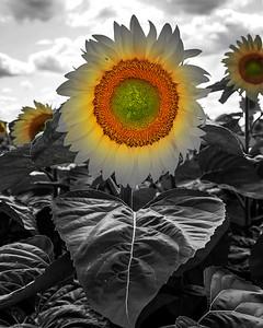 16x20 sunflower