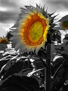 18x24 Sunflower
