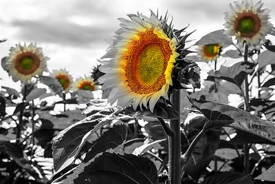 12x18 Sunflower
