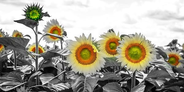 12x24 Sunflower