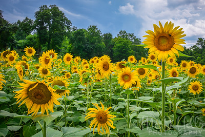 Surrounded By Sunflowers