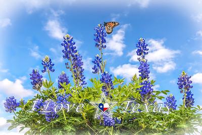 """I Love Texas - Bluebonnet Monarch Morning"""