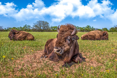 """Texas Bison"""