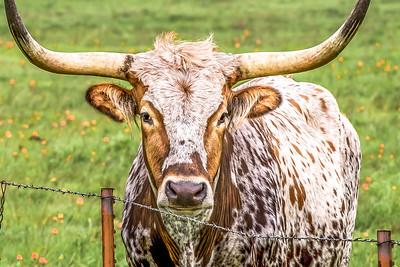 """Majestic Longhorn"""