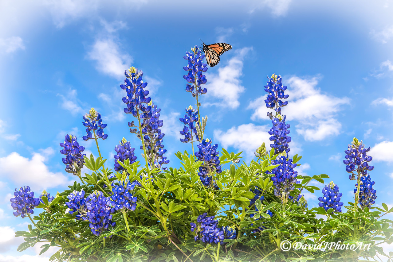 """Bluebonnet Monarch Morning"""