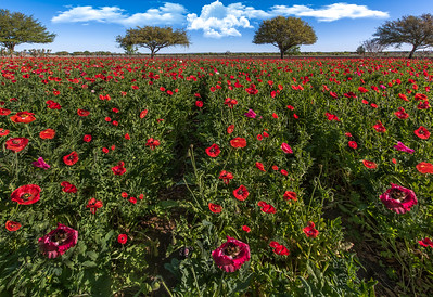 """Red Poppy Paradise"""