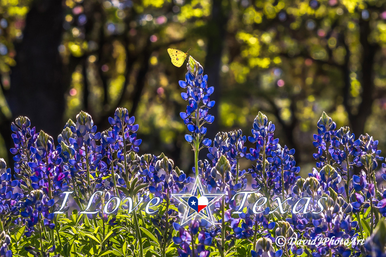 """I Love Texas - Bluebonnet Beauty"""