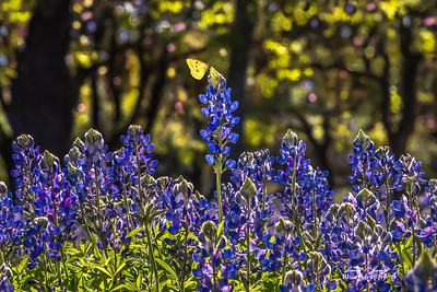 """Bluebonnet Beauty"""