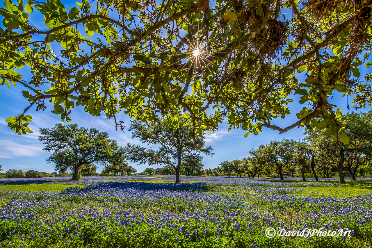 """Bluebonnet Bliss"""