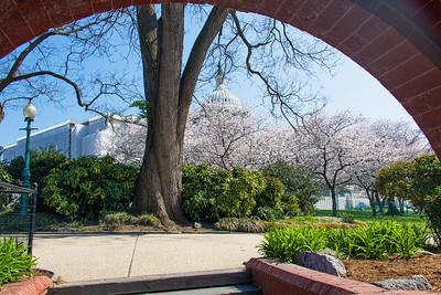 Cherry Blossoms Washington, DC 2016