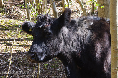 The area is used for grazing by these Black Angus Cows