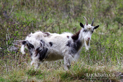 The goats of Cheddar Gorge