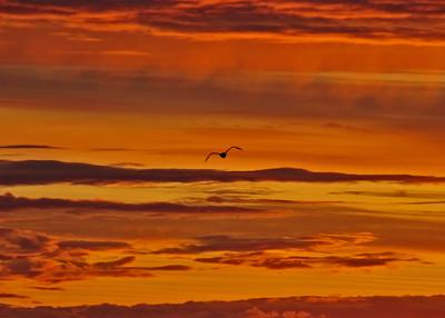 ALS_0426Adj-Sunset-Gull