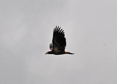 ALS_0816-adj-Eagle