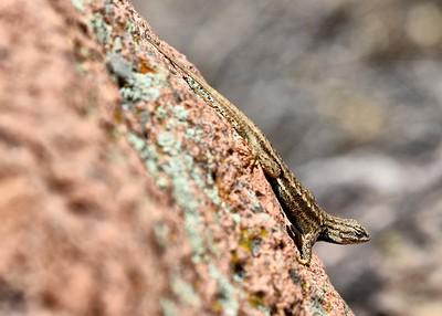 BOV_4002-7x5-Lizard