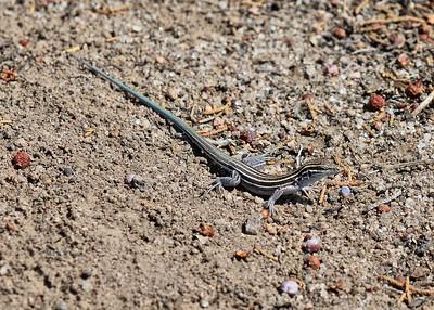 BOV_3944-7x5-Lizard