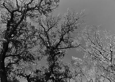 NEA_8743-7x5-Trees-BW