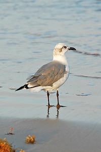 DSC_3698-4x6-Gull