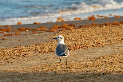 DSC_3689-6x4-Gull