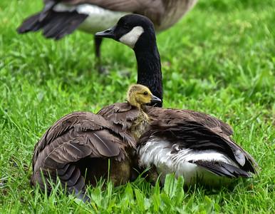 NEA_0105-Baby Goose