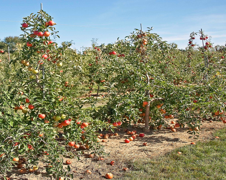 """Photo: Apple trees in one of the orchards at Bauman Orchard located in Rittman, Ohio.<br /> <br /> Description: Bauman Orchards has a total acreage of 117 acres. Bauman has over 20,000 apple trees, spanning 25 different varieties. Bauman's peach trees number 3,000, with at least 15 varieties.<br /> <br /> Role in Wayne County's Ag-Bio Cluster: Orchard, apple grower, retail shop, tourism and travel generator.<br /> <br /> Website: <a href=""""http://baumanorchards.com/"""">http://baumanorchards.com/</a>"""