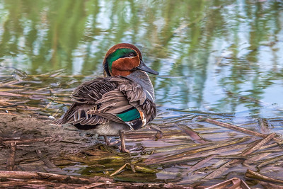 """Green-winged Teal"""