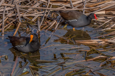 """Mr. & Mrs Gallinule"""