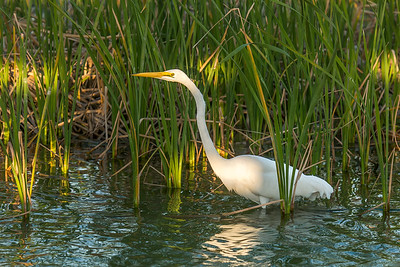 """Egret in the Evening"""