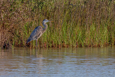 """Blue Heron Hunter"""