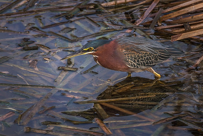 Green Heron Hunt""