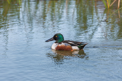 """Northern Shoveler Swim"""
